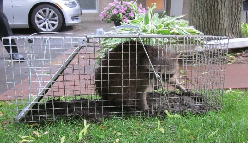 A racoon, for wildlife control in Nashville, TN, Brentwood, TN & Franklin, TN call Preventive Pest Control today!